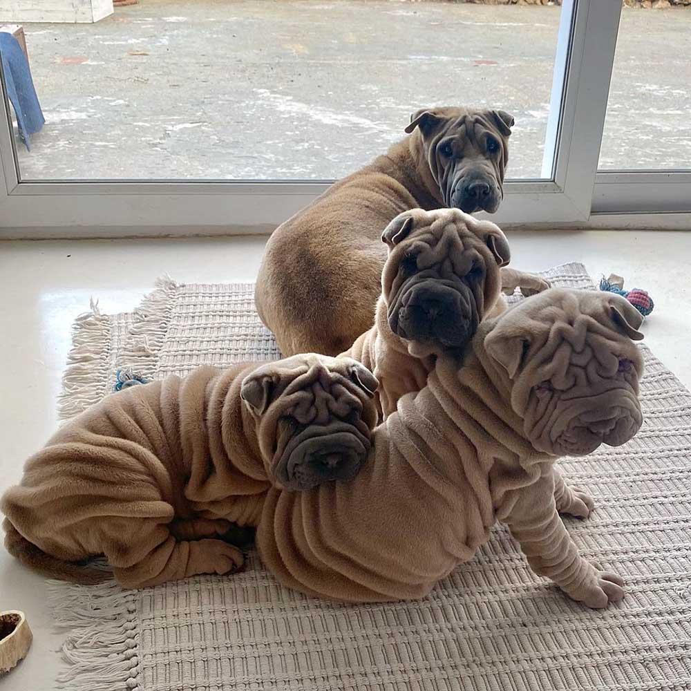 Adorables perritos arrugados