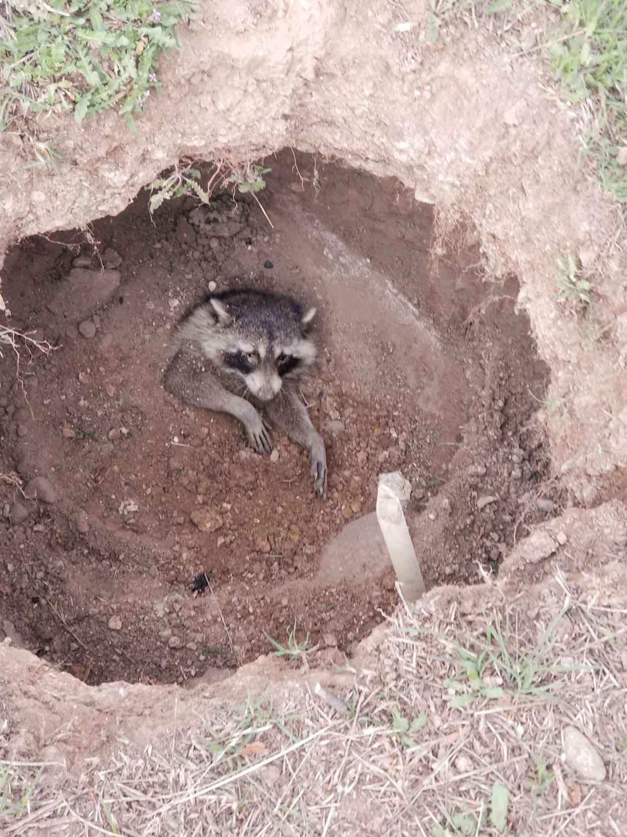 Niños bondadosos rescatan a un mapache enterrado vivo