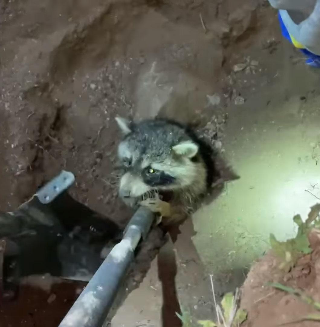Niños bondadosos rescatan mapache