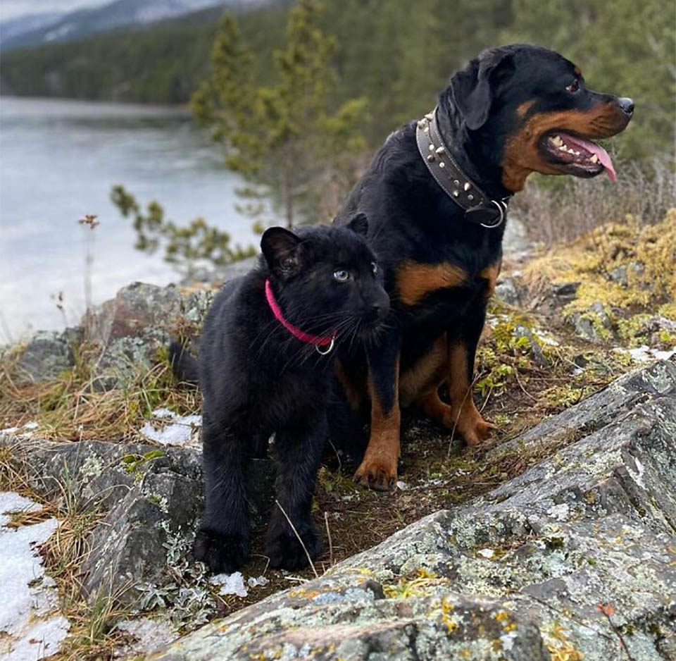 Rottweiler y Pantera