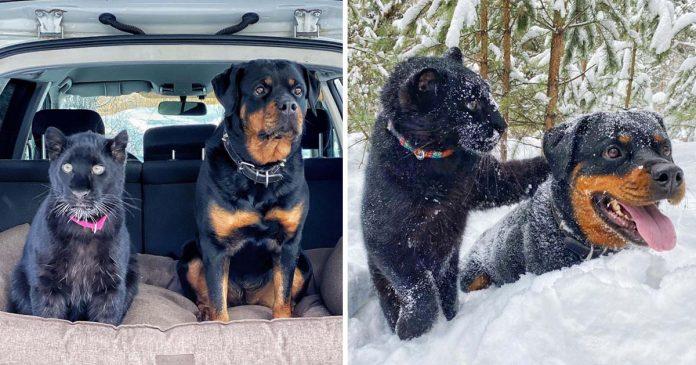 Rottweiler y pantera rescatada zoologico mejores amigas