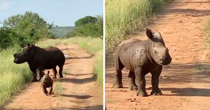 Adorable bebé rinoceronte quiere que la gente sepa lo grande, rudo y aterrador que es