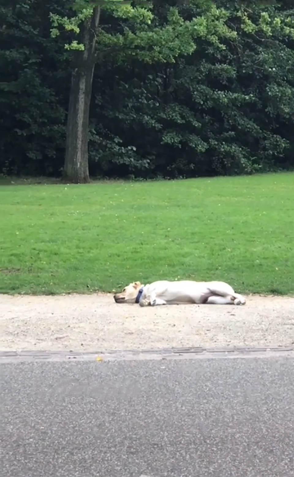 Adorable perro juega a hacerse el muerto