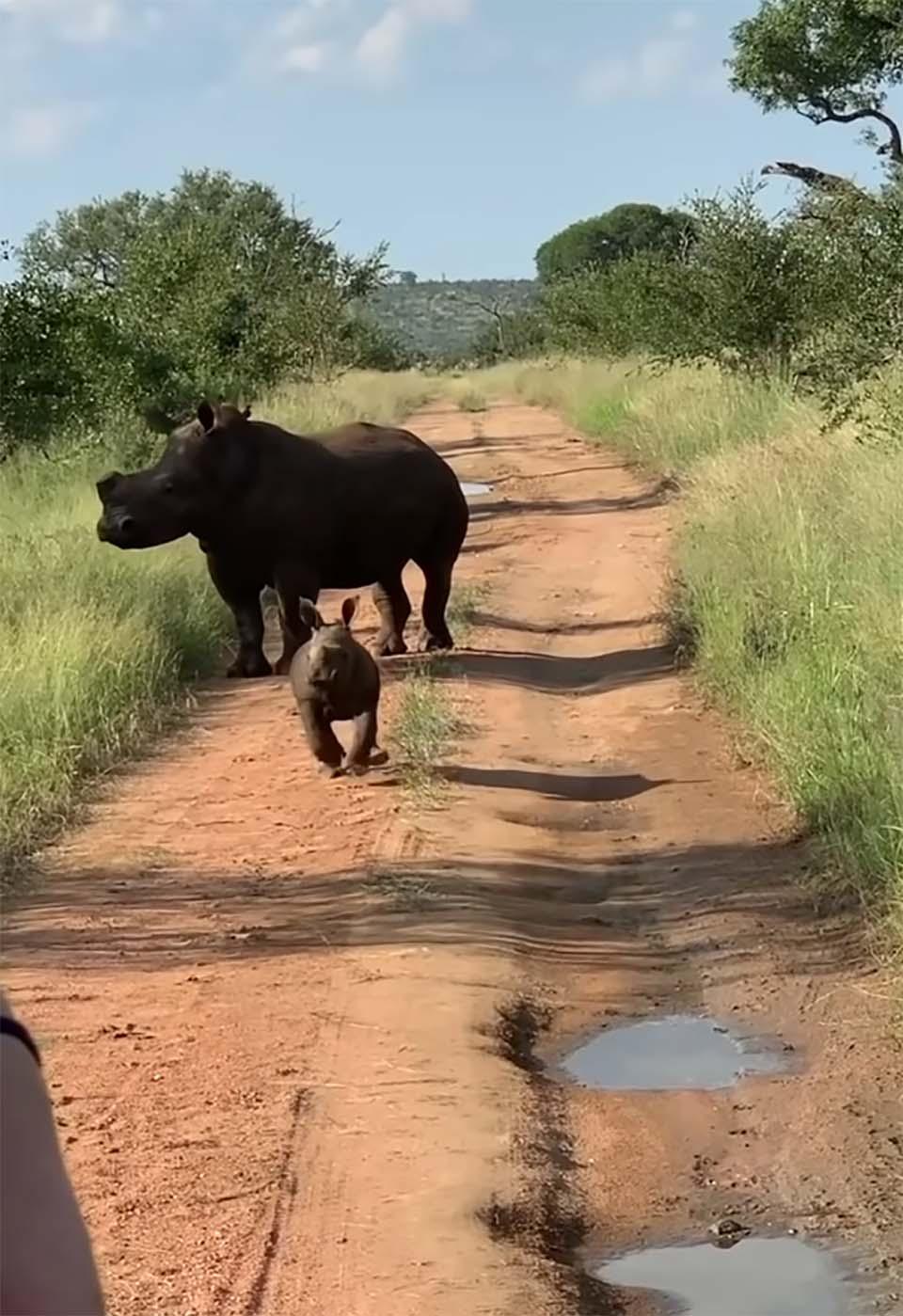 Bebé rinoceronte quiere ser aterrador
