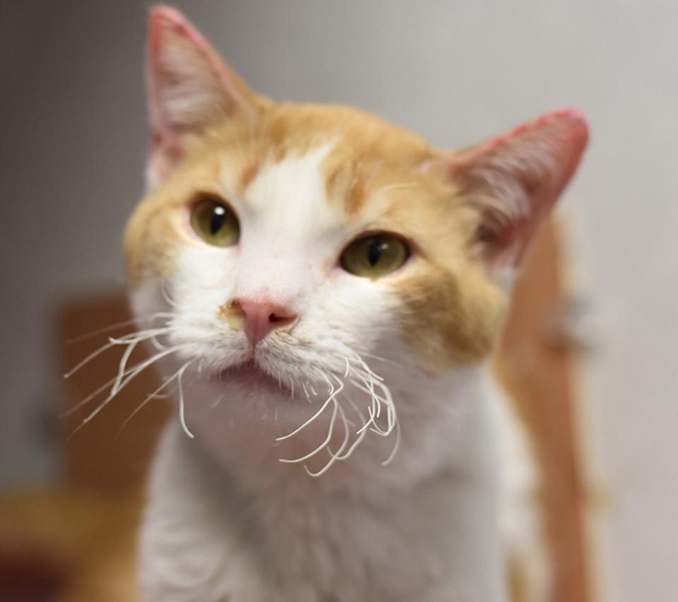 Gato con corazón rescatado