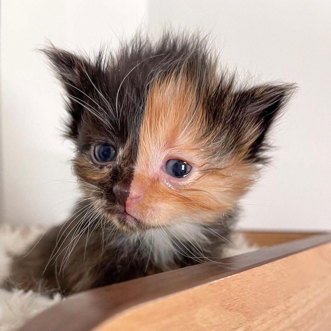 Hermoso gatito percal