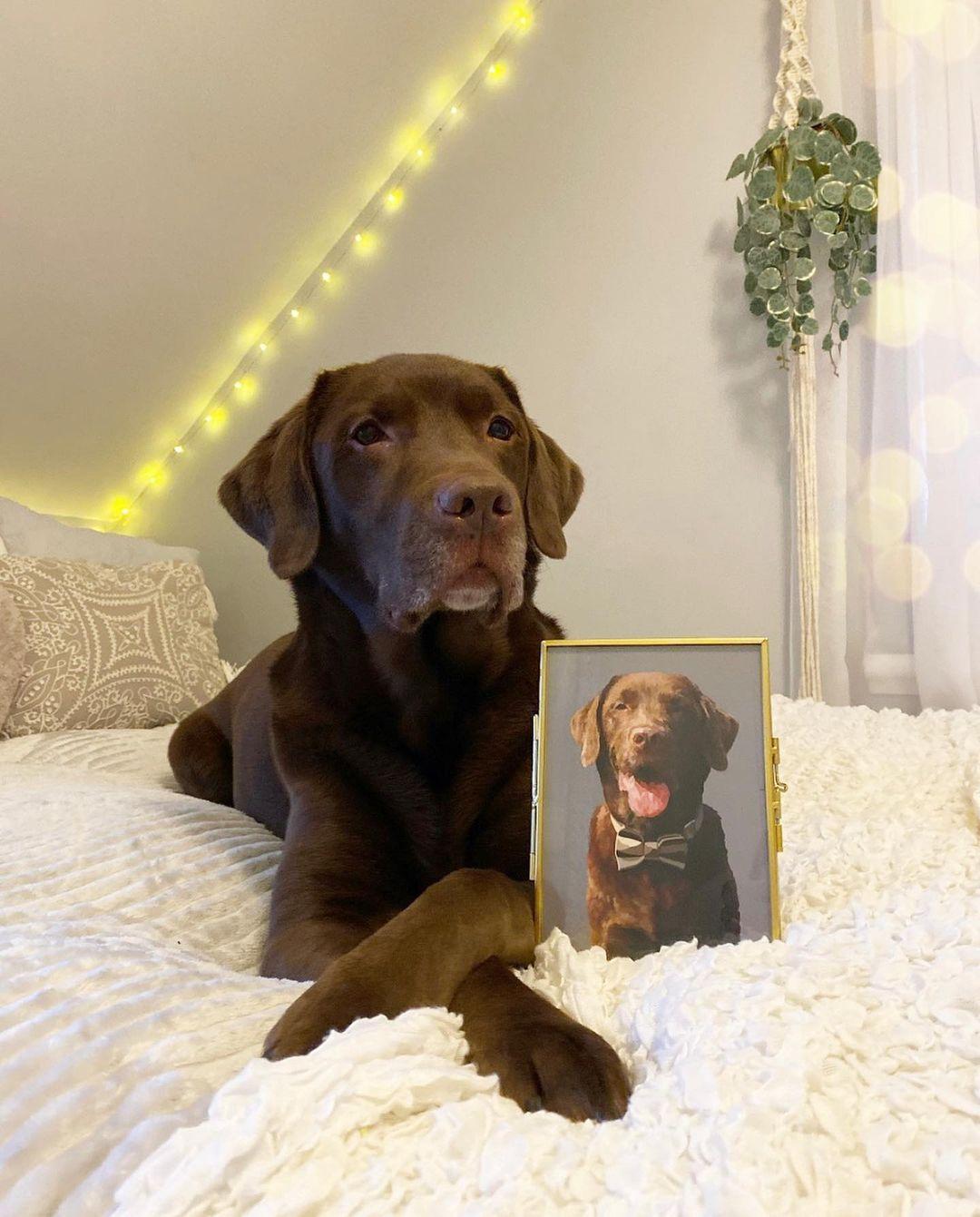 Hermoso labrador chocolate y su retrato