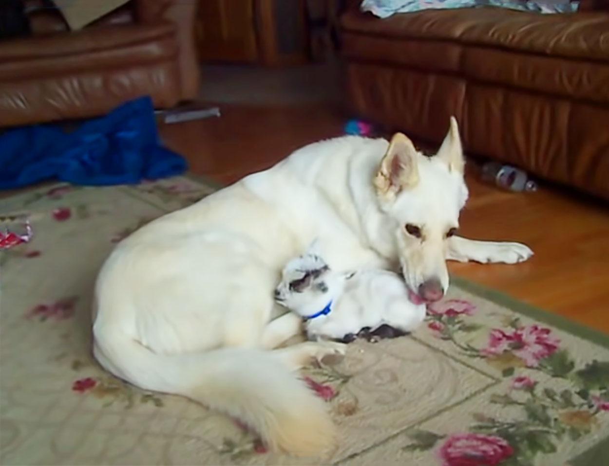 Pastor alemán blanco y cabra pigmea bebé