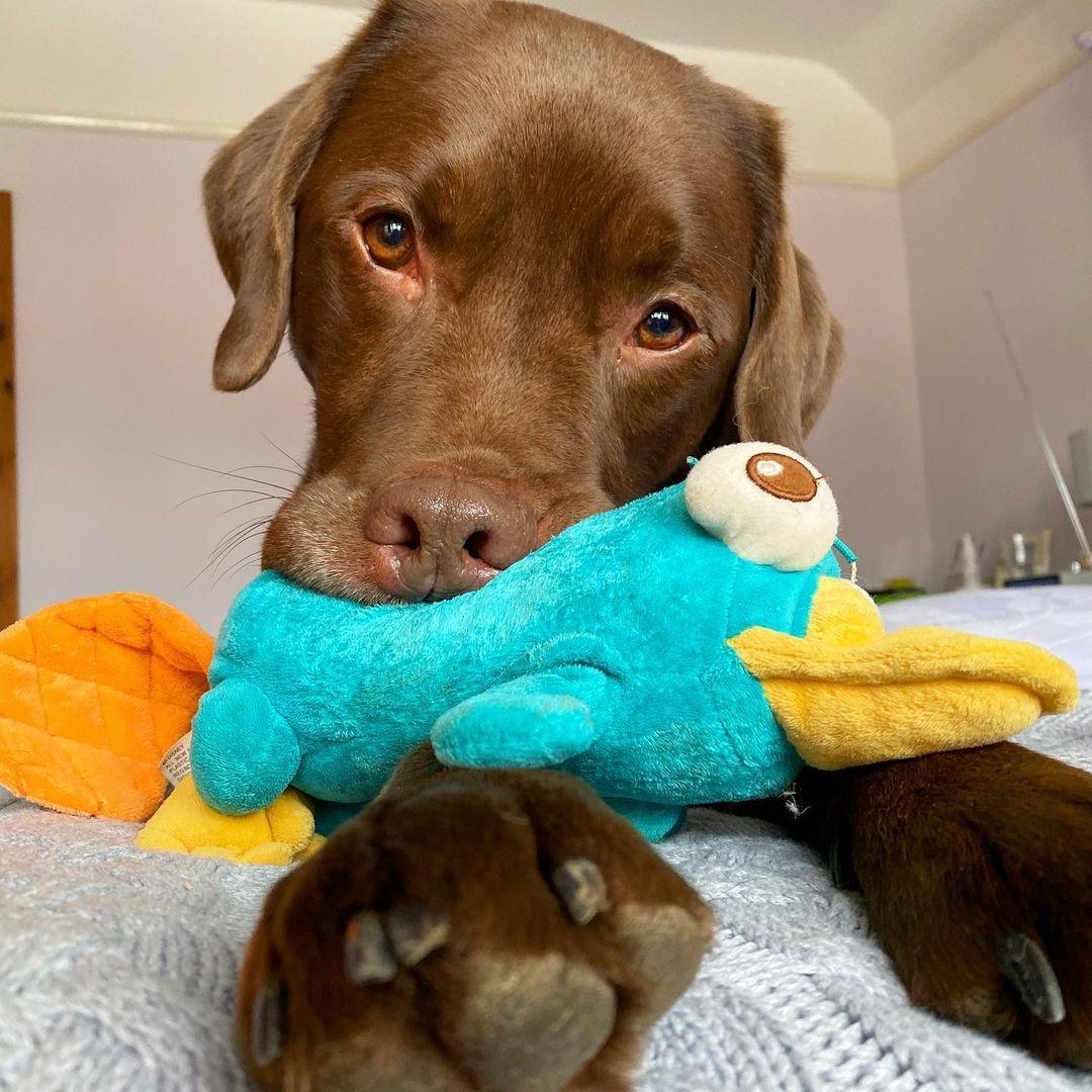 Perrito labrador y su juguete