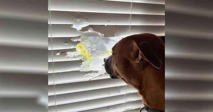Perro no deja que las persianas le impidan mirar por la ventana