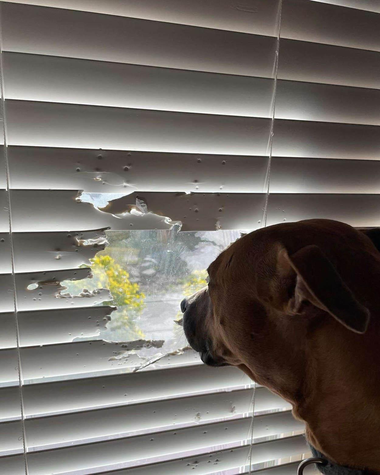 Perro no permite que las persianas le impidan mirar