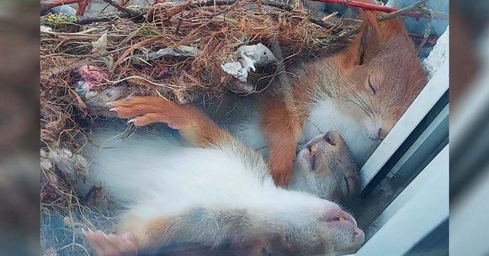 Chico ve a las ardillas más adorables tomando una siesta justo afuera de su ventana