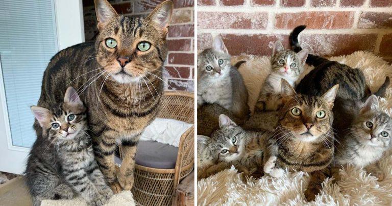 Este dulce gato ayuda a cuidar a los gatitos que su familia lleva a casa