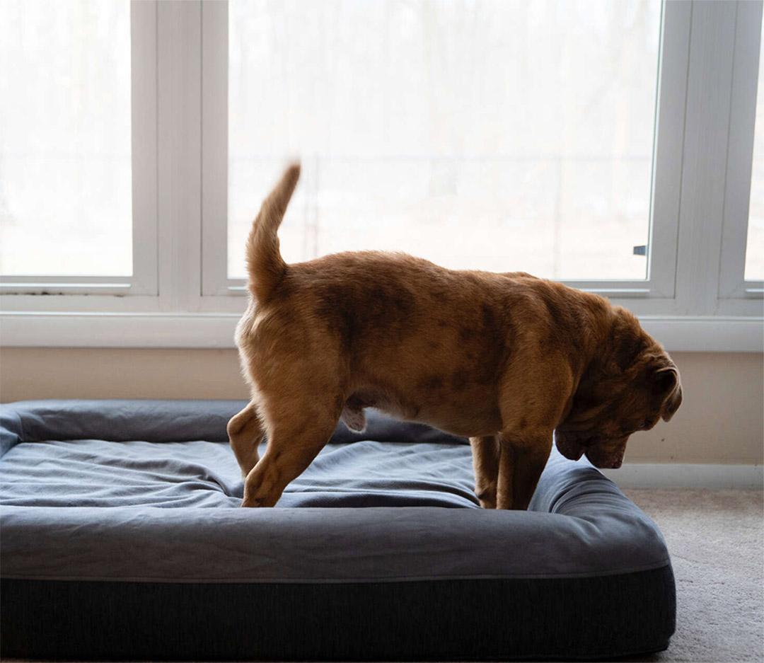 Perro saltando cama