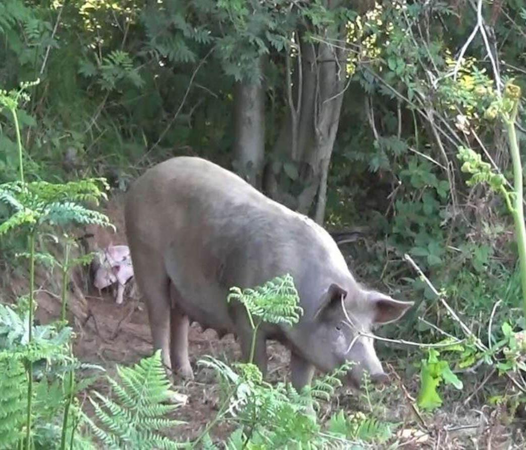 Cerdita embarazada escapa granja