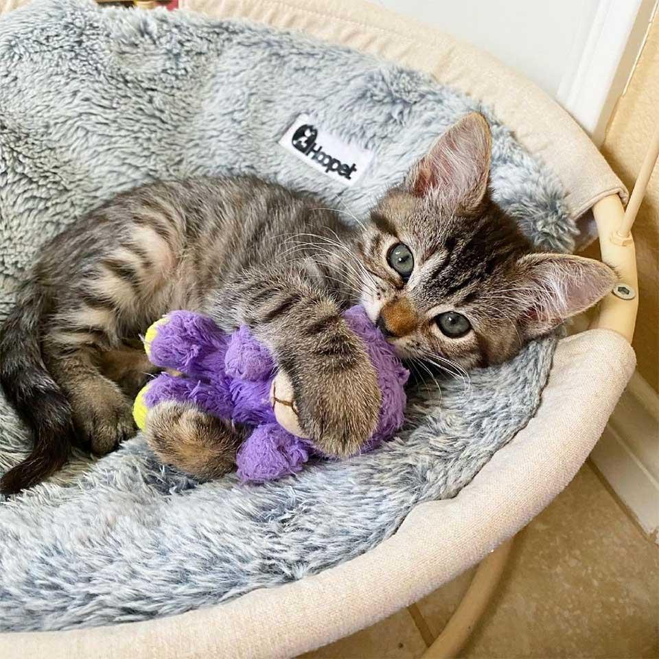 Gatito lleva un cordero