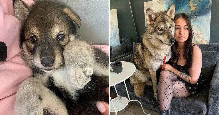 Mujer adopta a un lobo de un refugio que no habría sobrevivido en la naturaleza