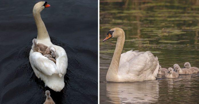 Padre cisne cuida de sus bebés tras perder a la madre