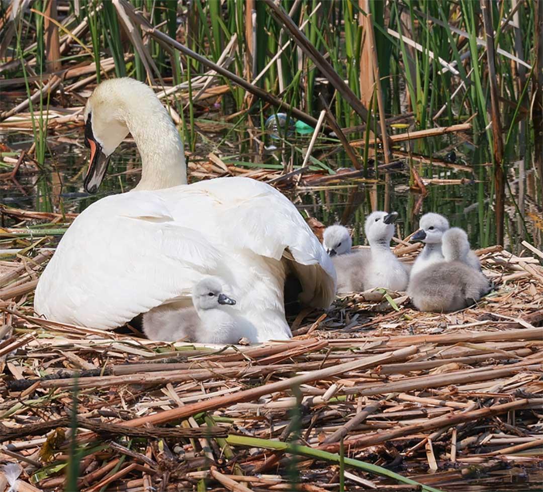 Padre cisne cuidando bebés