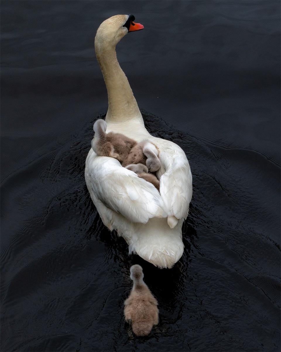 Padre cisne y polluelos nadando