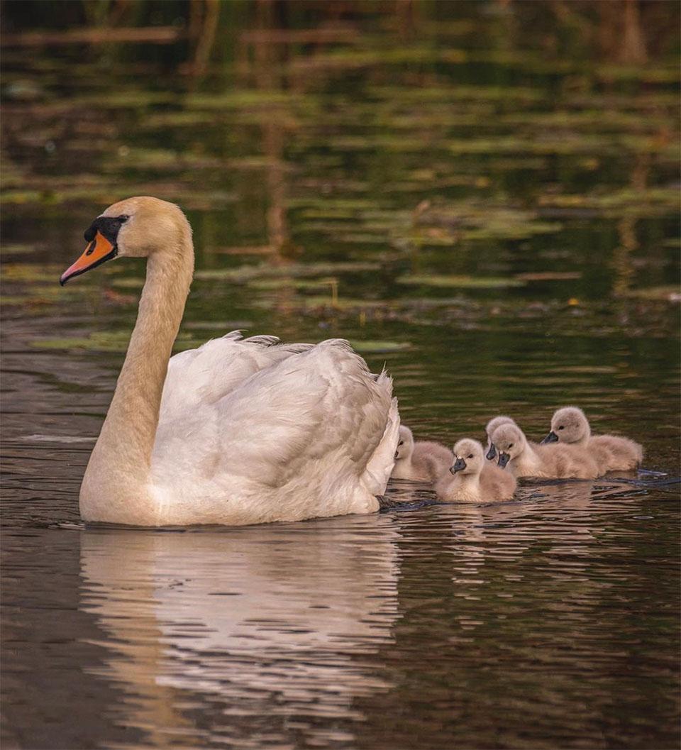 Padre cisne y polluelos