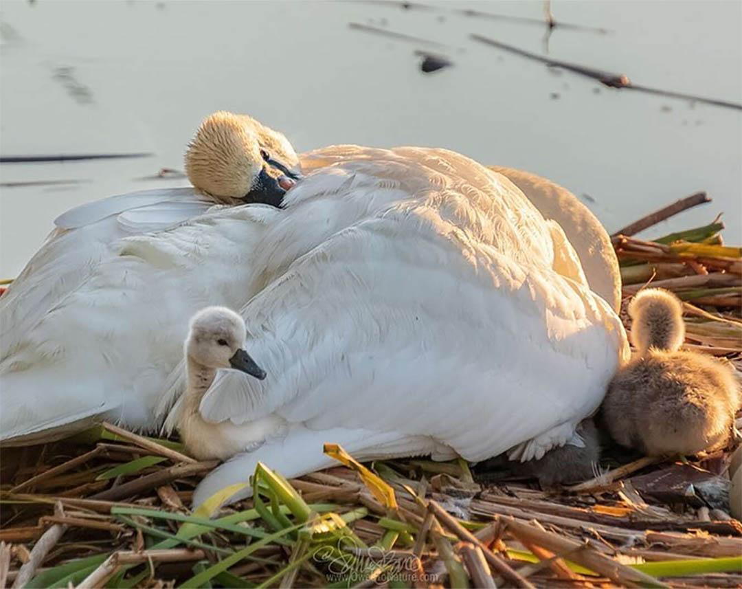 Pareja de cisnes y bebés