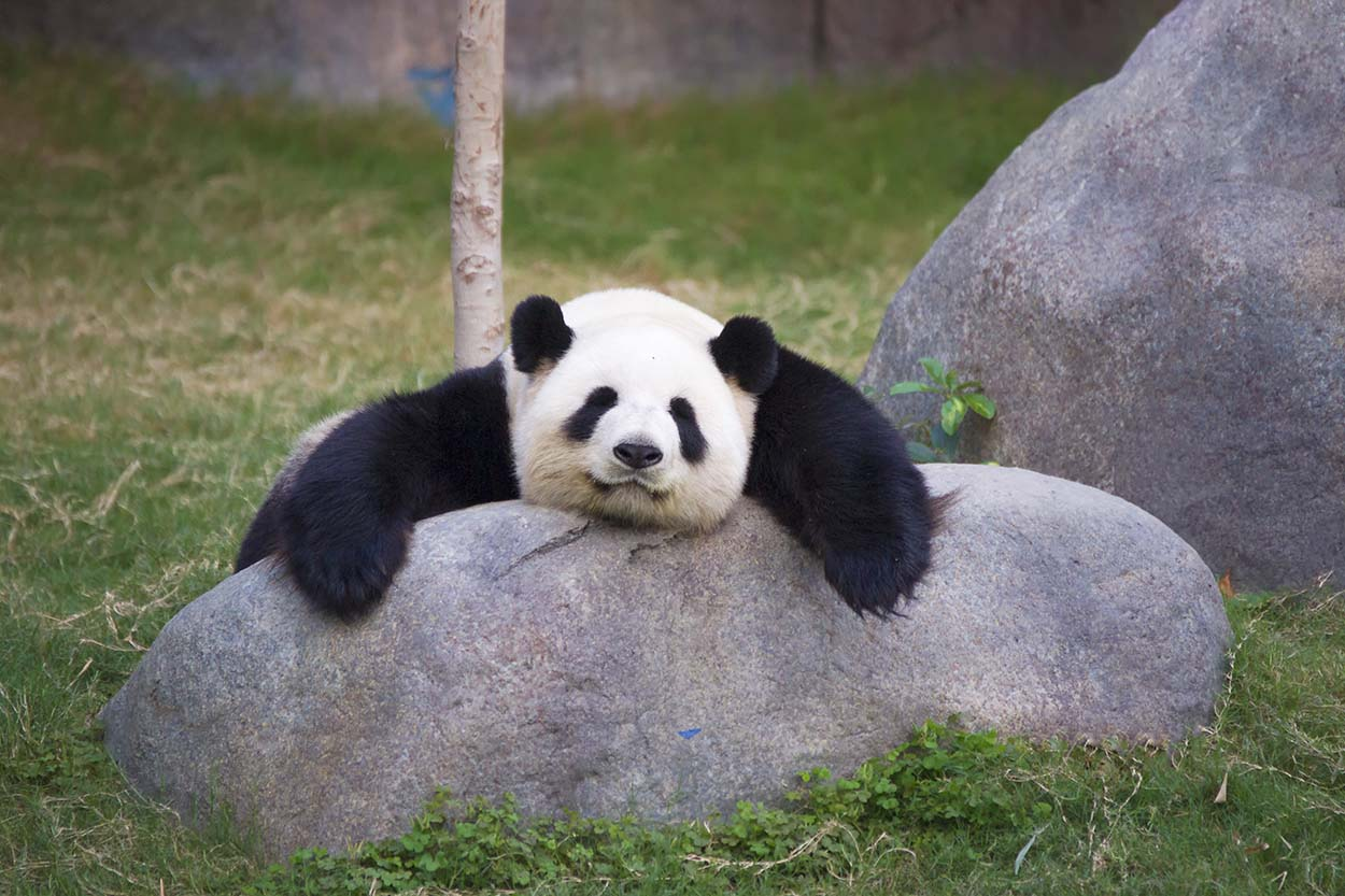 Adorable oso panda descansando