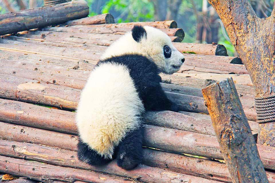 Bebé de oso panda gigante