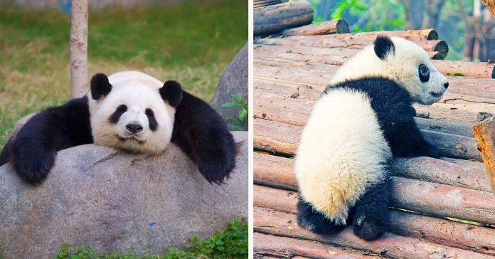 Un oso panda gigante durmiendo en una roca y un panda bebé escalando bambú