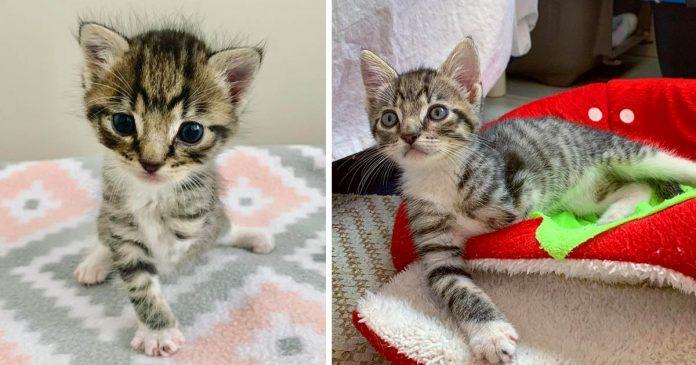 Gatito de tres patas le demuestra a todos lo que puede hacer gracias a esta familia