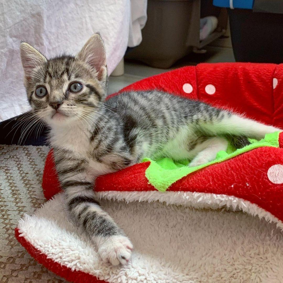 Hermoso gato atigrado