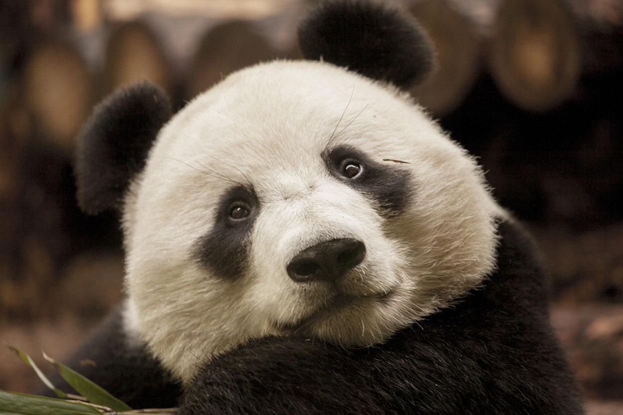 Hermoso oso panda