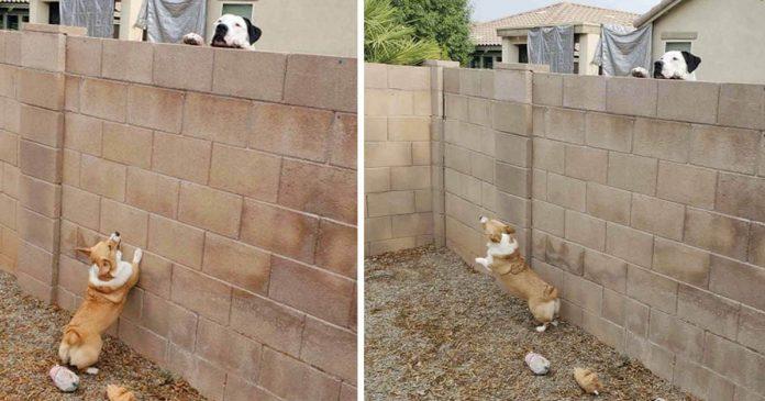 Mujer atrapa a su perrito teniendo reuniones secretas con el perro vecino