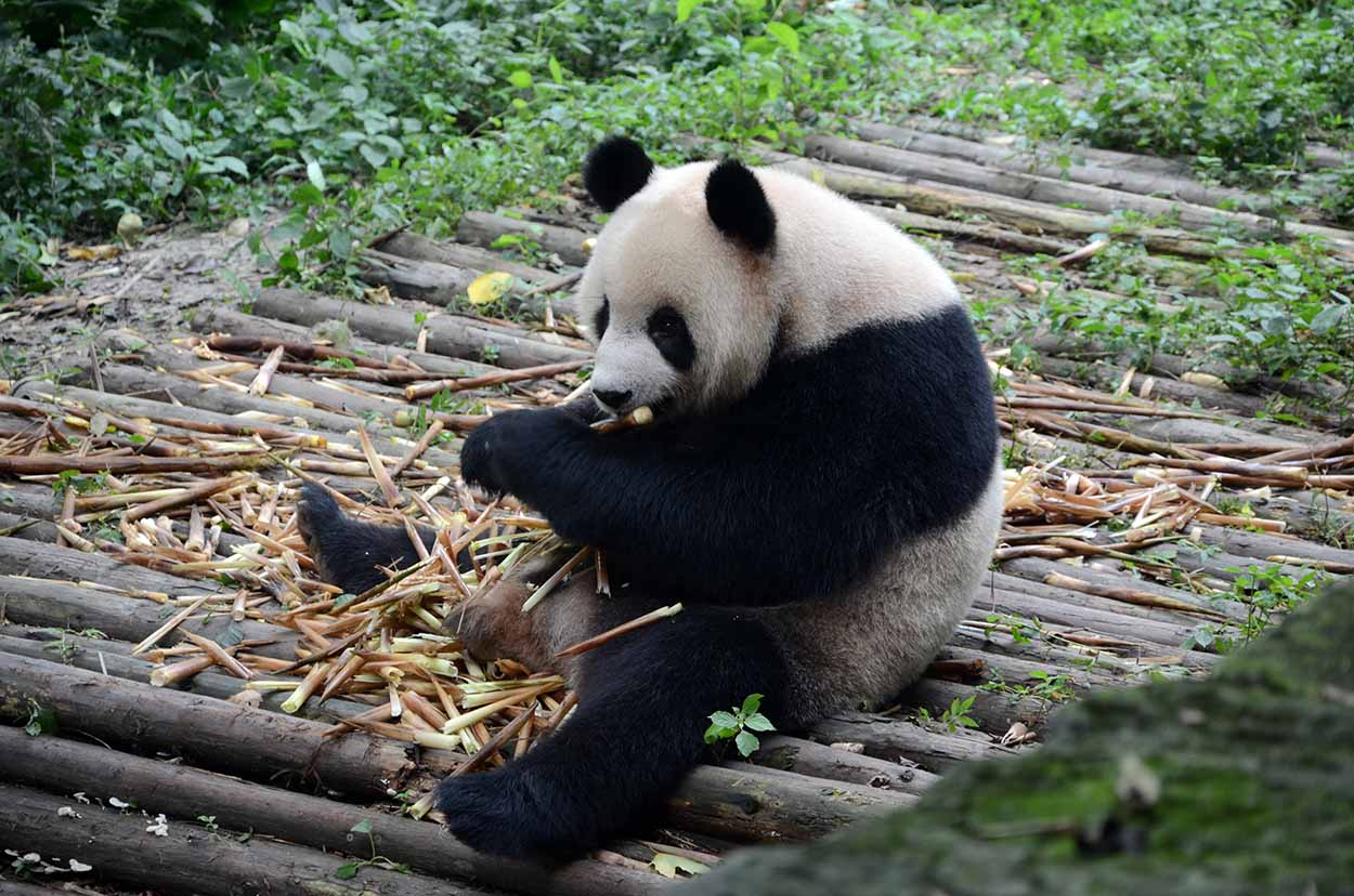 Panda gigante disfruta del bambú