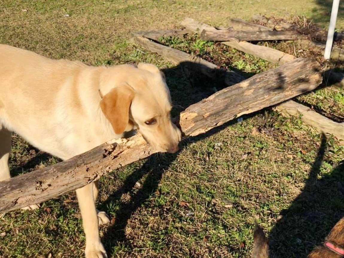 Perro lleva un palo en la boca