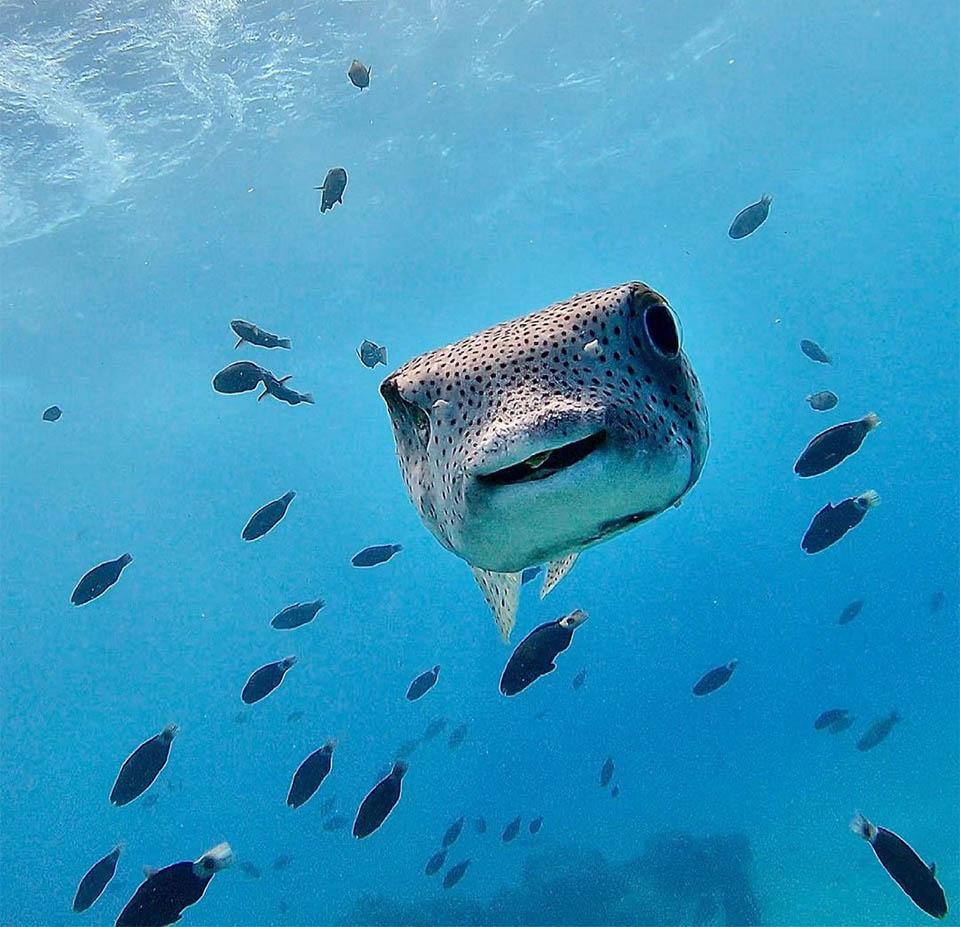 Buzo conoce pez sonriente