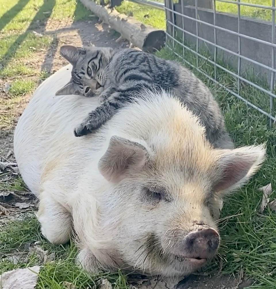 Ernest abrazando cerdo