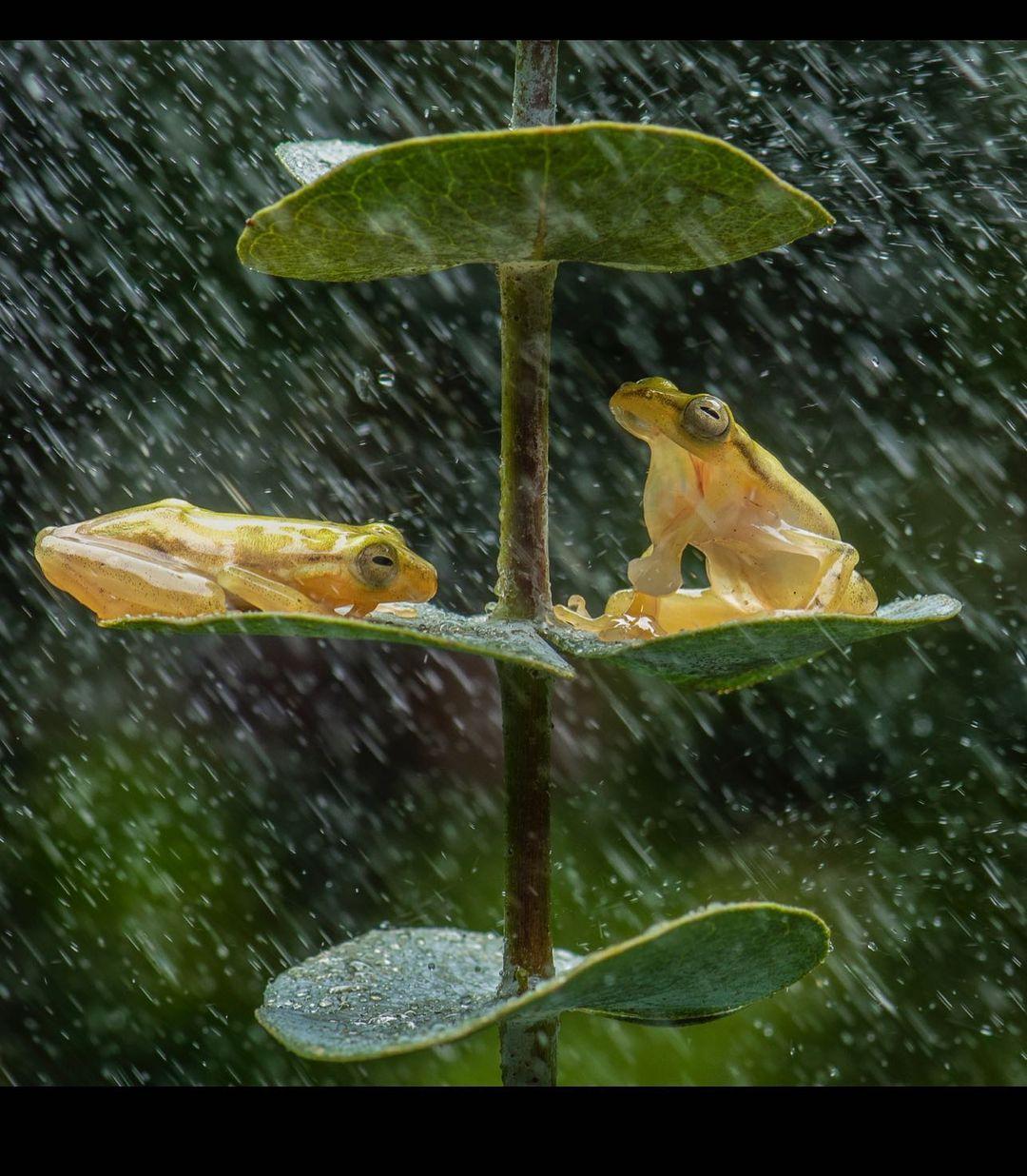Fotógrafo nota ranas compartiendo bajo la lluvia