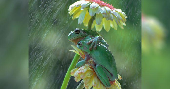 Fotógrafo nota ranas compartiendo un dulce abrazo bajo la lluvia