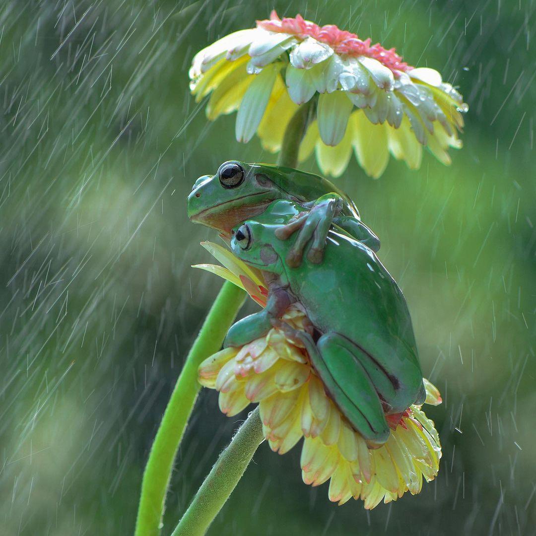 Ranas compartiendo un dulce abrazo bajo la lluvia