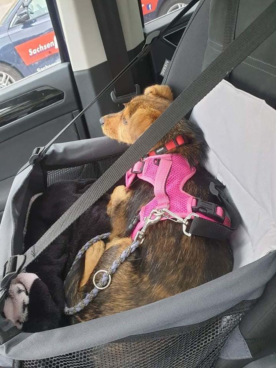 Adorable perrito en el auto