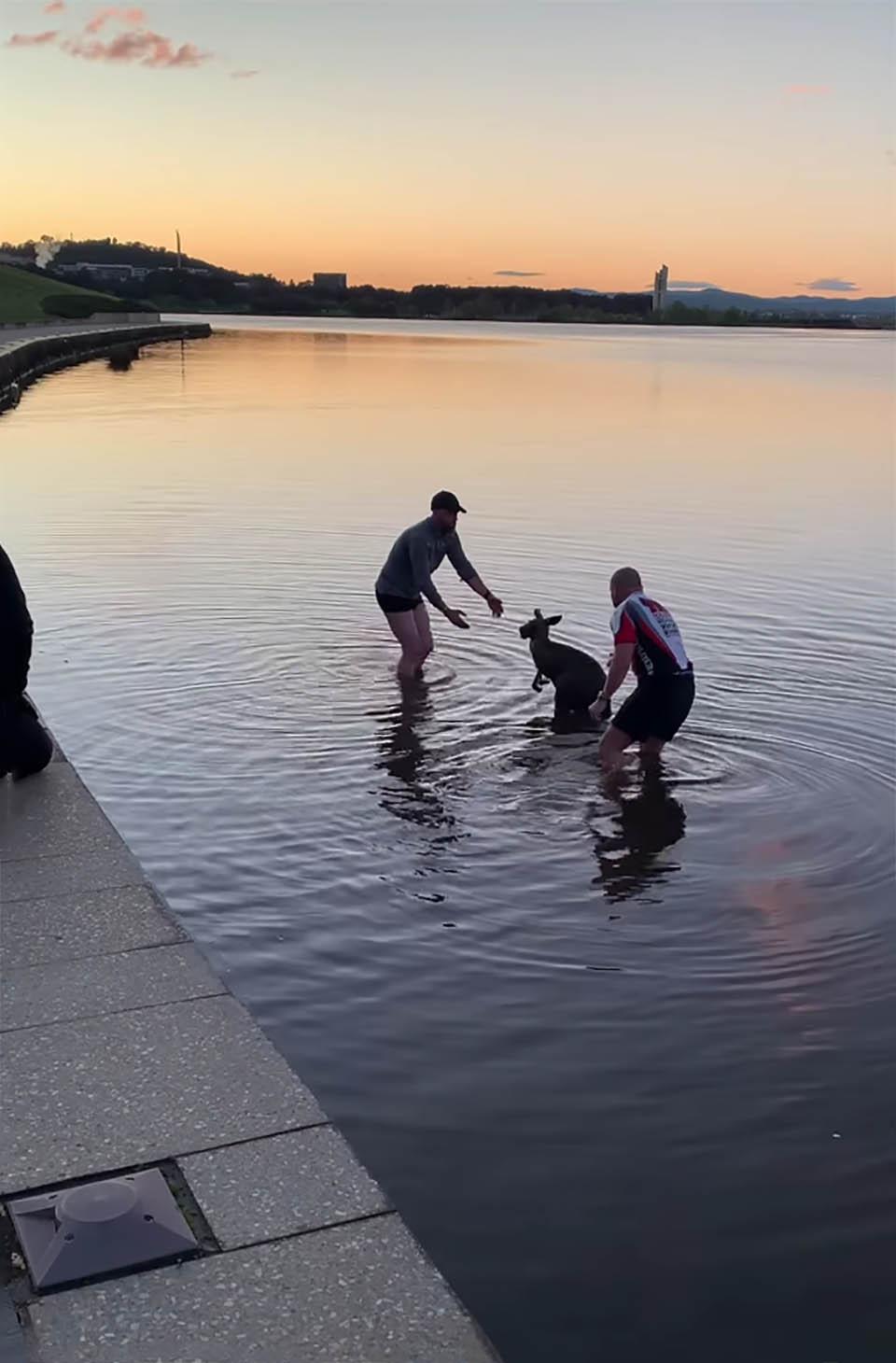 Canguro rescatado de un lago