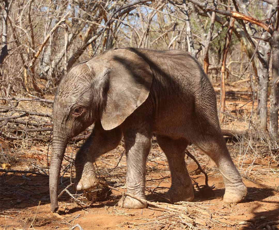 Elefanta rescatada emerge naturaleza
