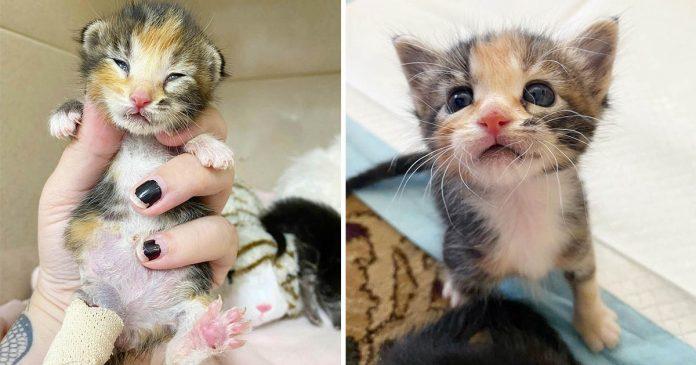 Pequeña gatita con tres patas se recupera y persevera después ser encontrada