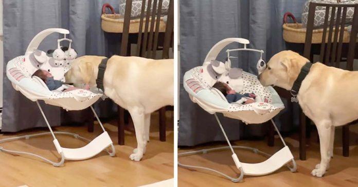 Perro escucha al bebé llorar y no lo deja hasta calmarlo