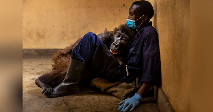 Gorila pasa sus últimos momentos abrazando al hombre que la salvó cuando era bebé