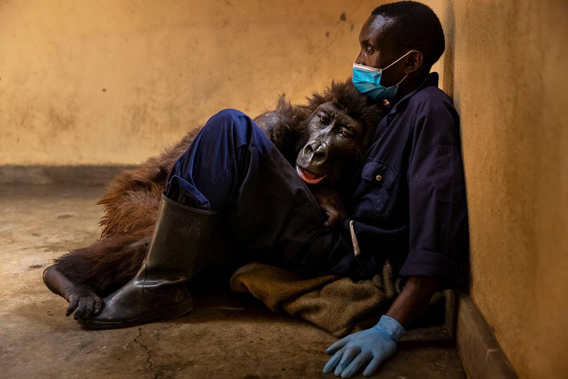 Gorila pasa sus últimos momentos abrazando al hombre que la salvó de bebé