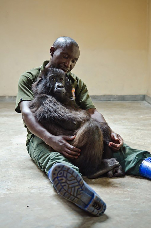 Gorila pasa últimos momentos abrazando al hombre que la salvó
