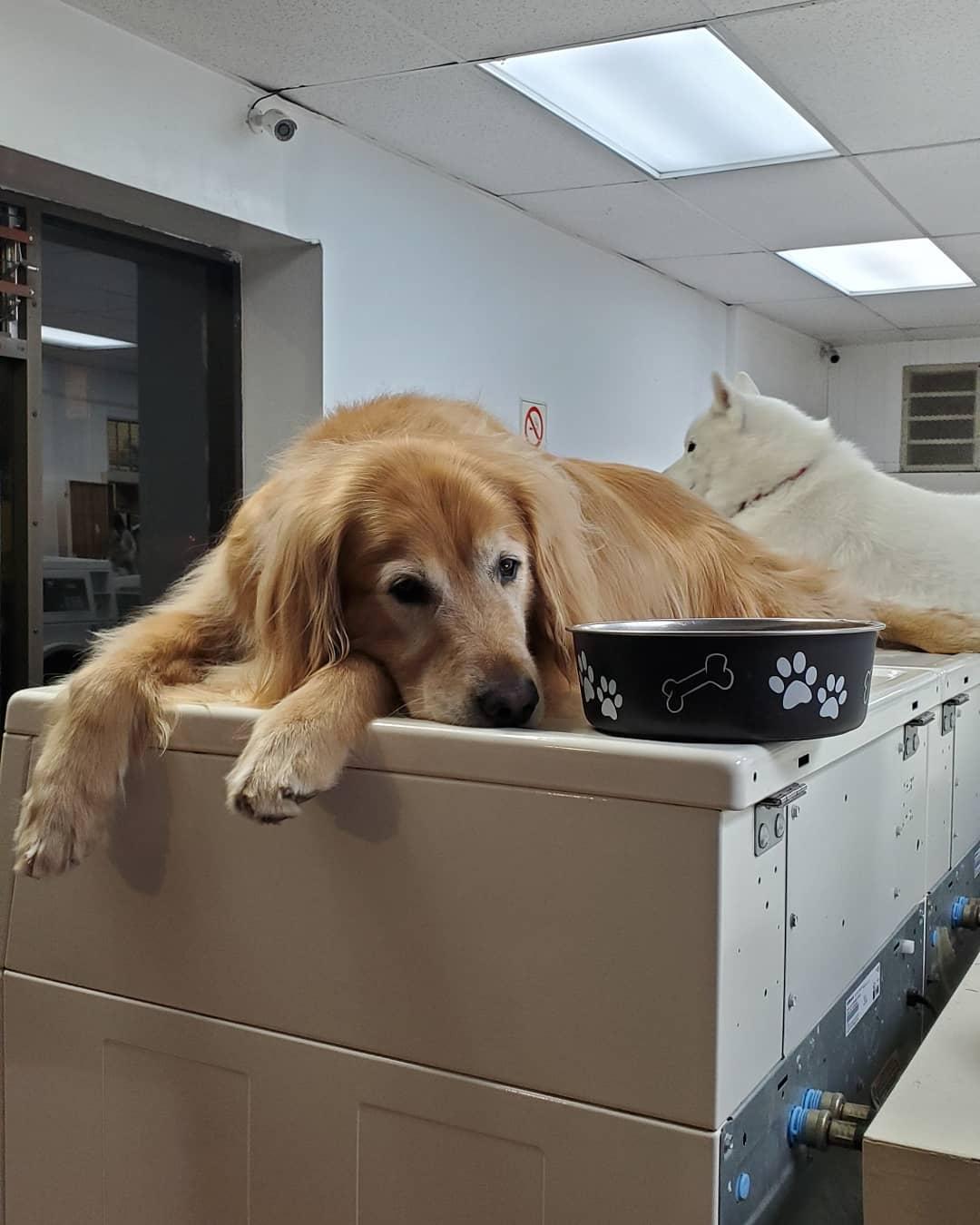 Perro en la lavandería no puede dejar de tomar siestas en las máquinas