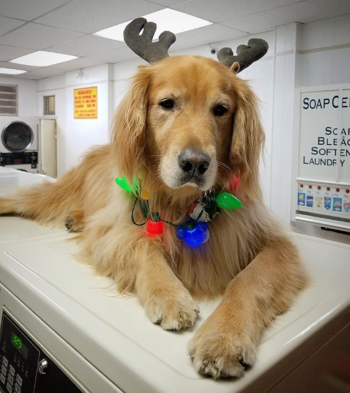 Perro en la lavandería no puede dejar de tomar siestas